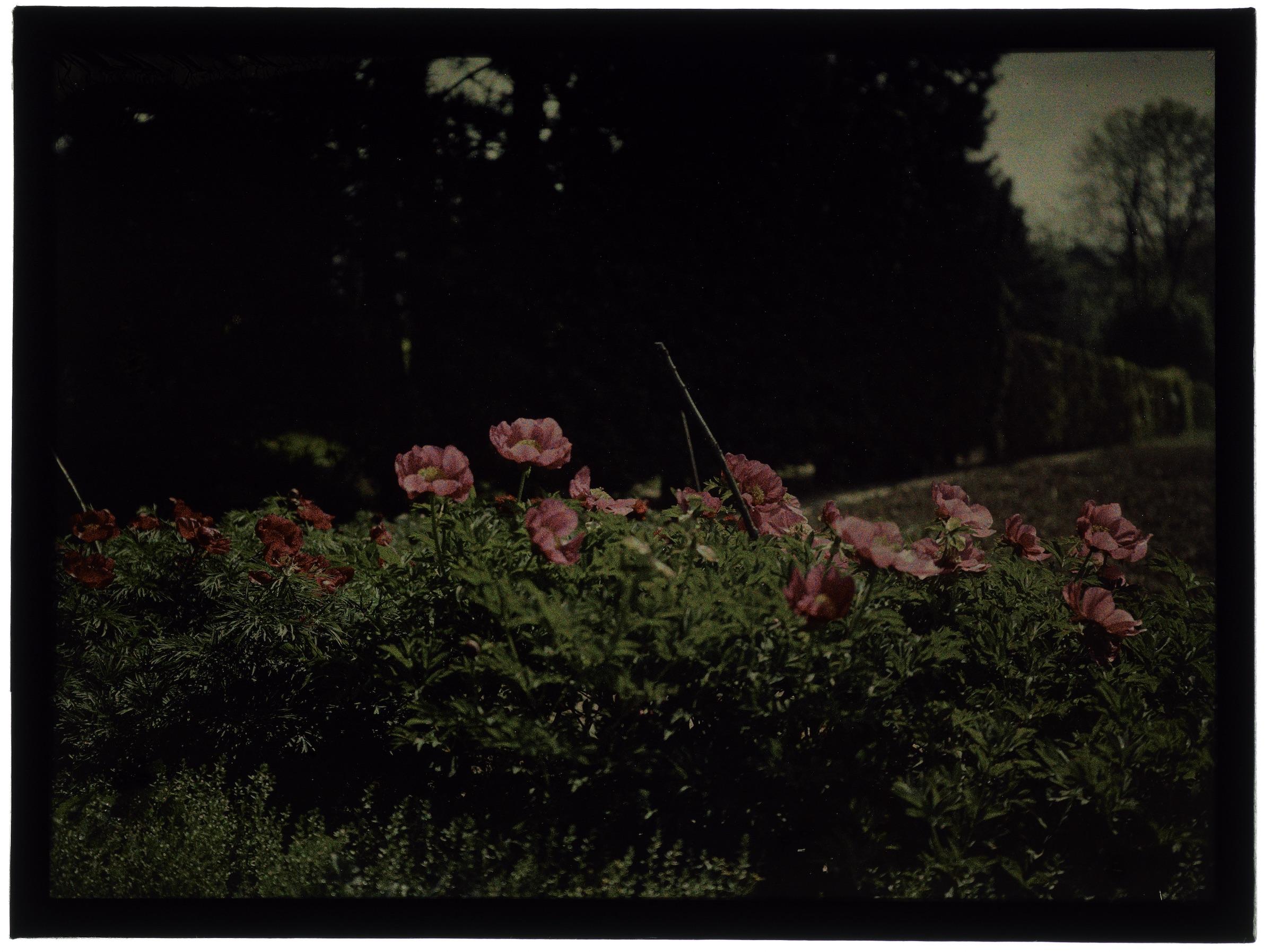 Fleurs dans le jardin - Pivoine