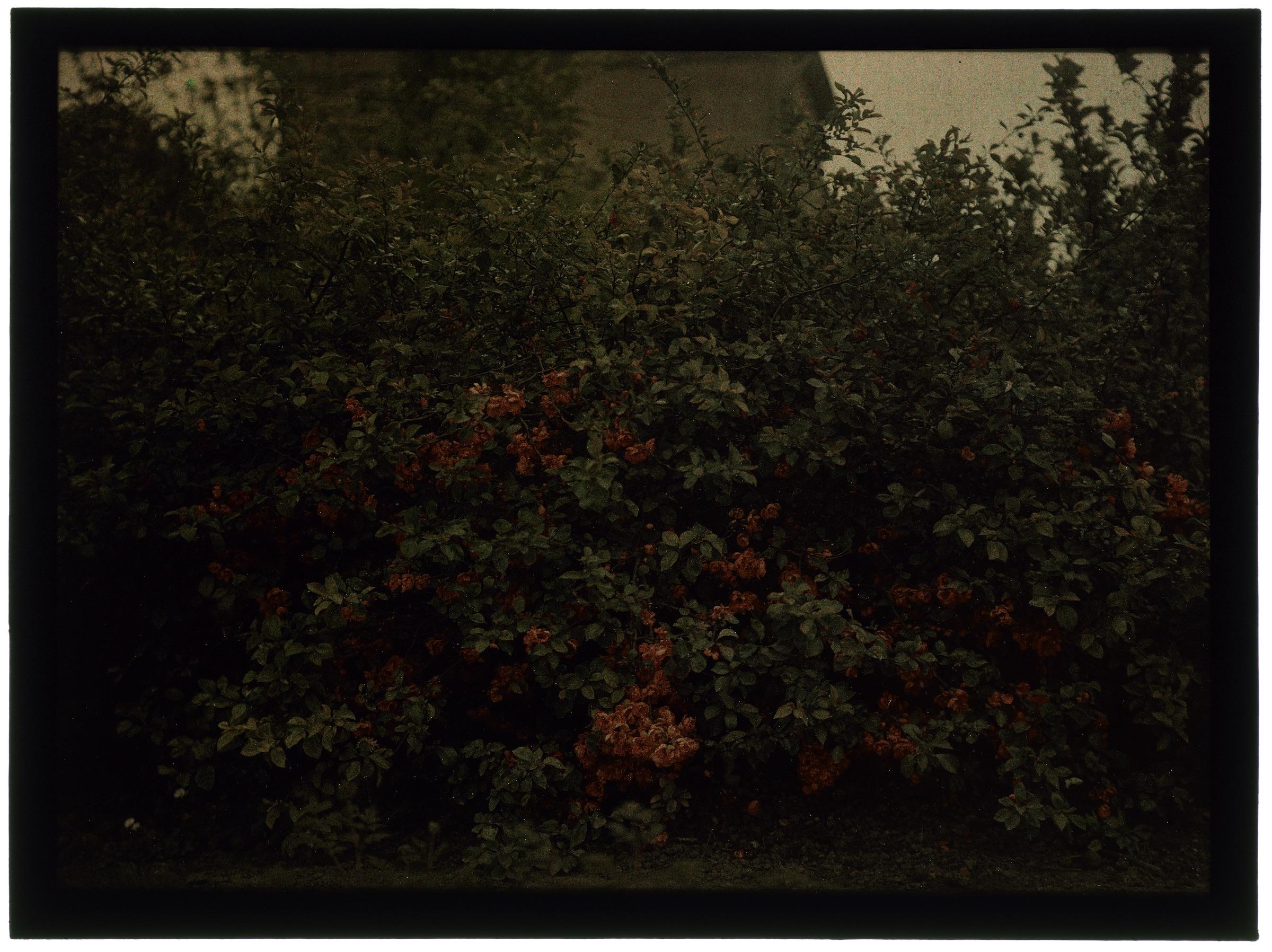 Arbustes dans le jardin - Poirier du Japon