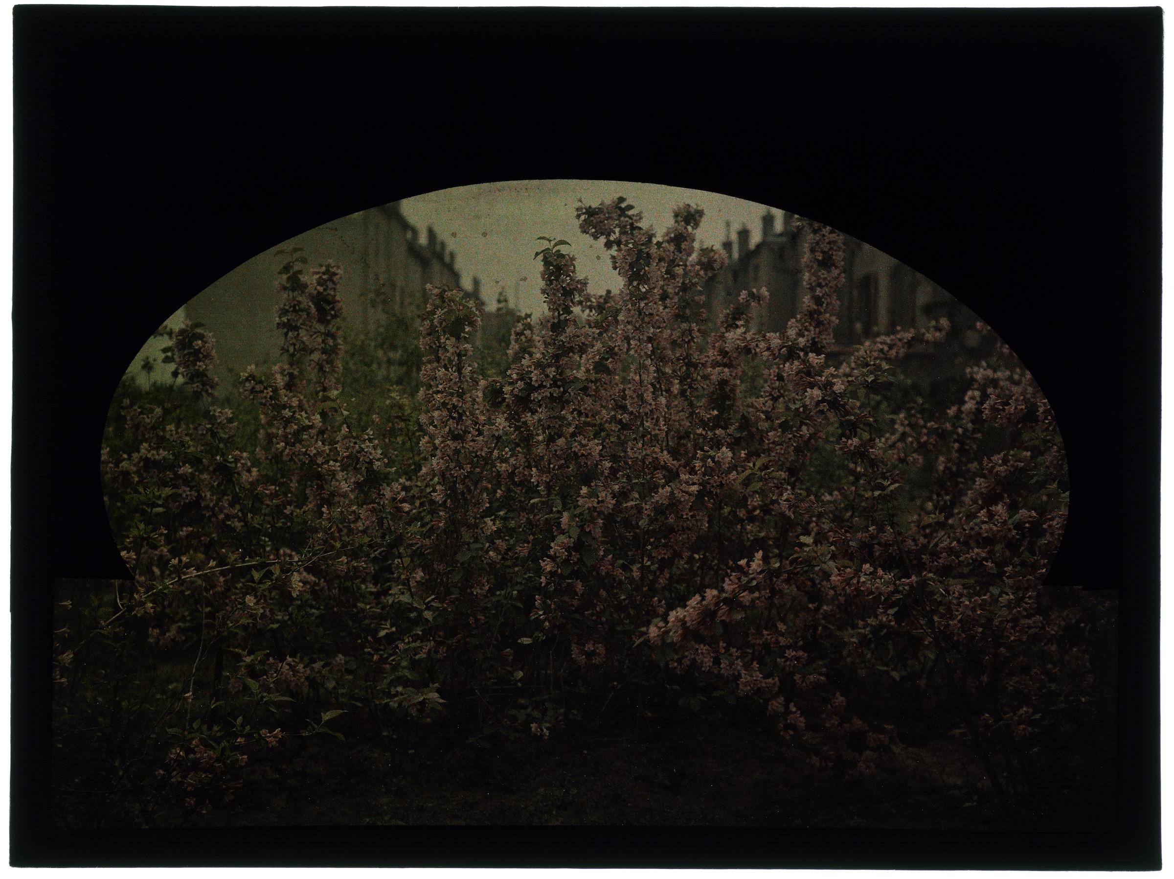 Arbustes dans le jardin - Weigelia