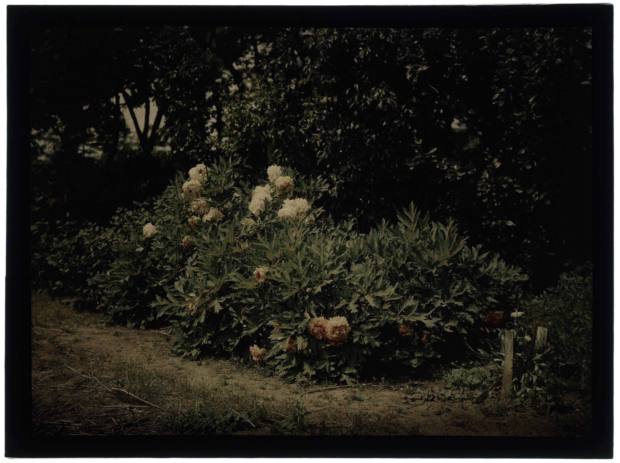 Pivoines dans le jardin