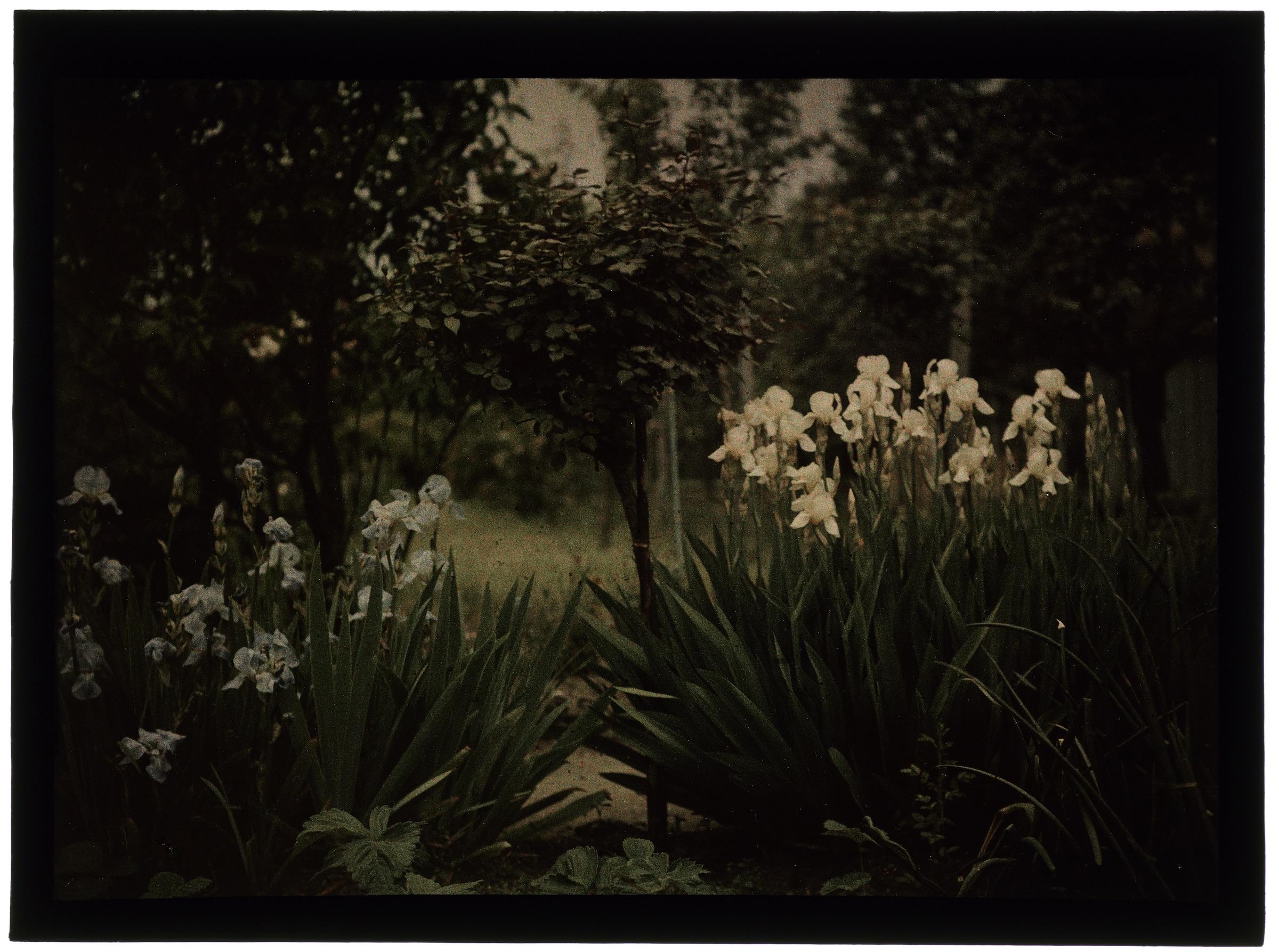 Iris dans le jardin
