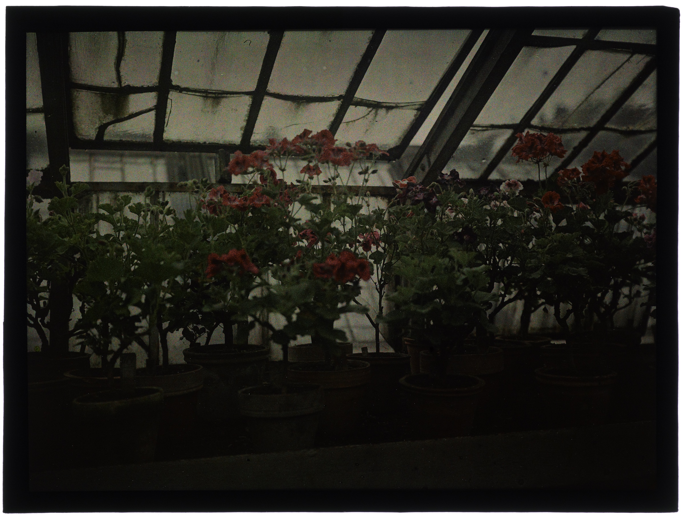 Fleurs dans la serre au toit pointu - Pelargoniums