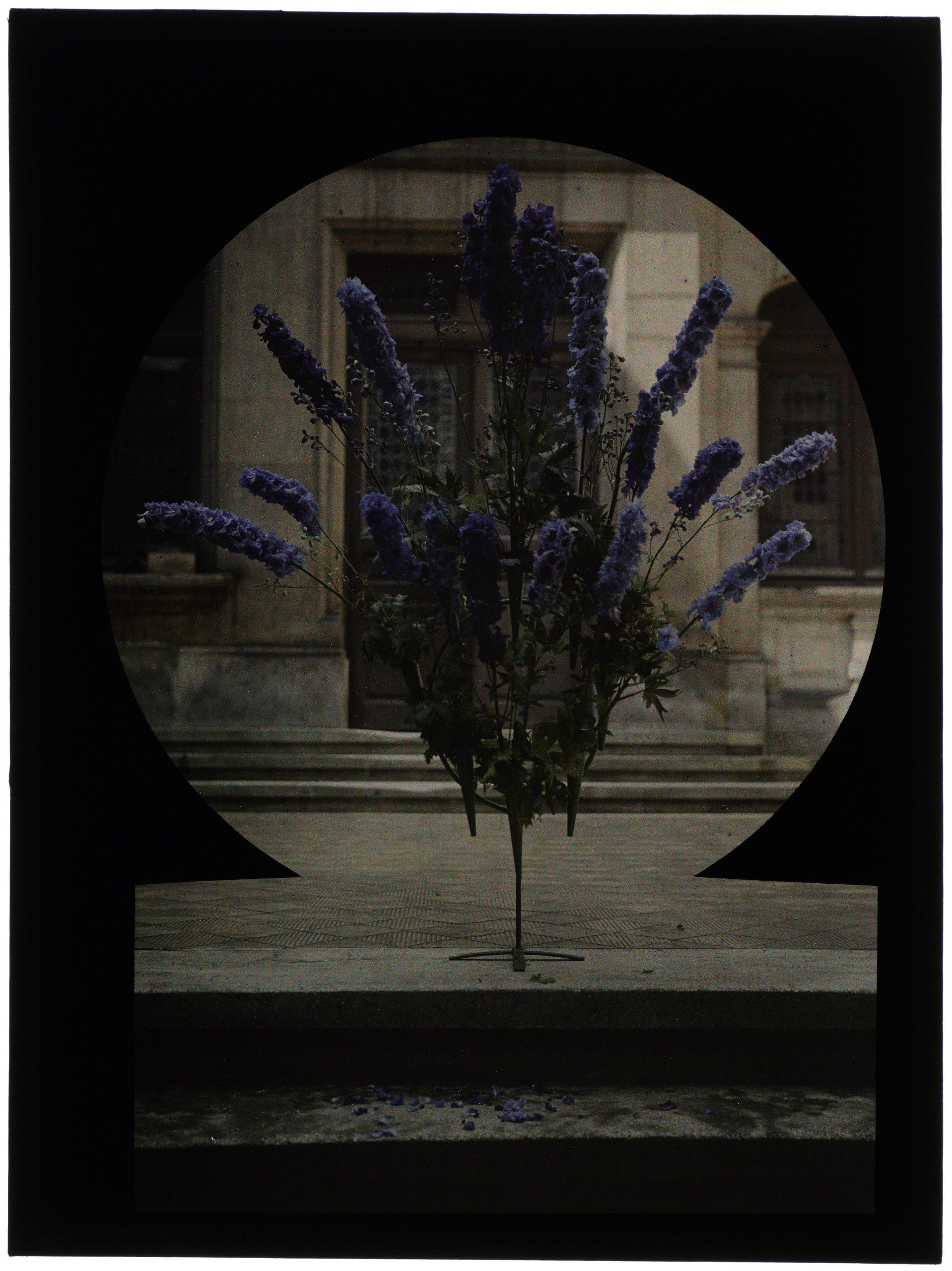 Bouquet de delphinium devant la maison de maître